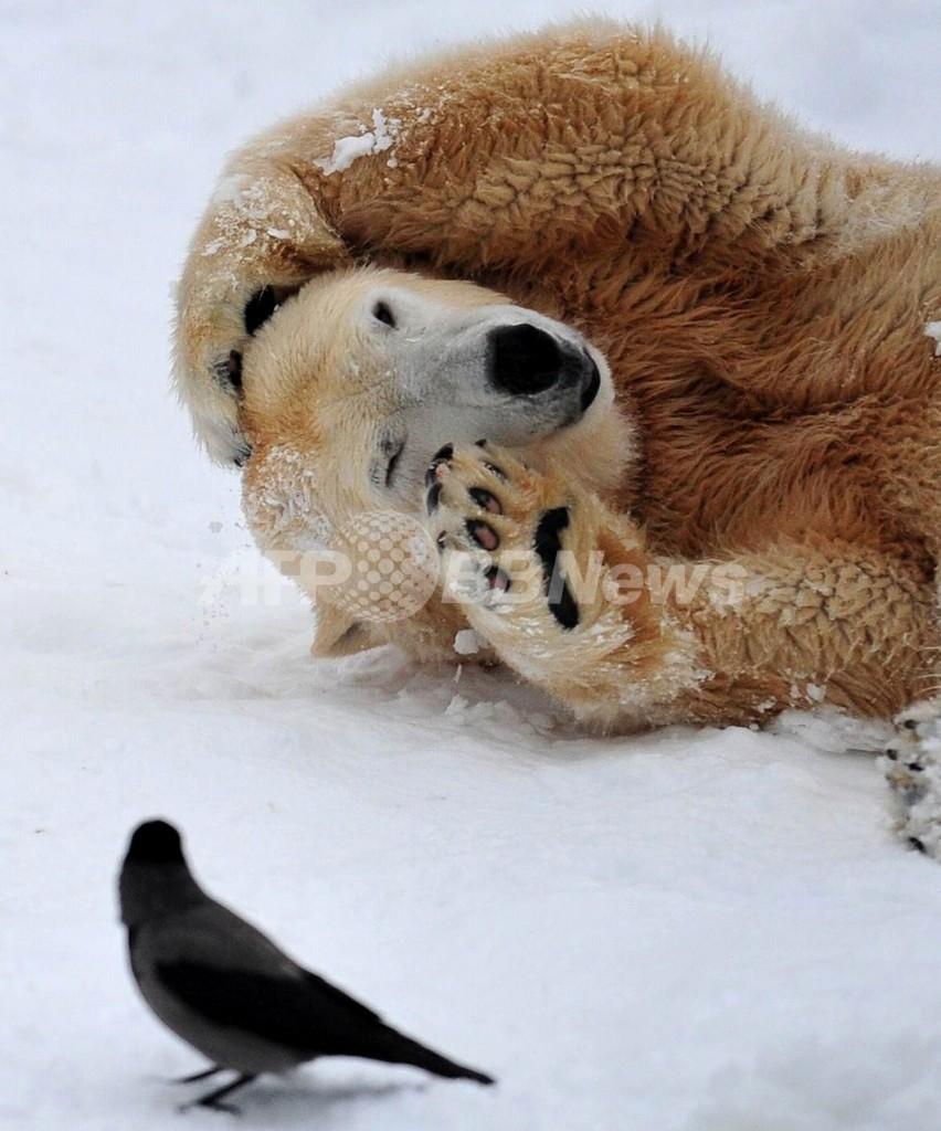 シロクマも「雑種化」、気候変動で北極圏ほ乳類の異種交配進む