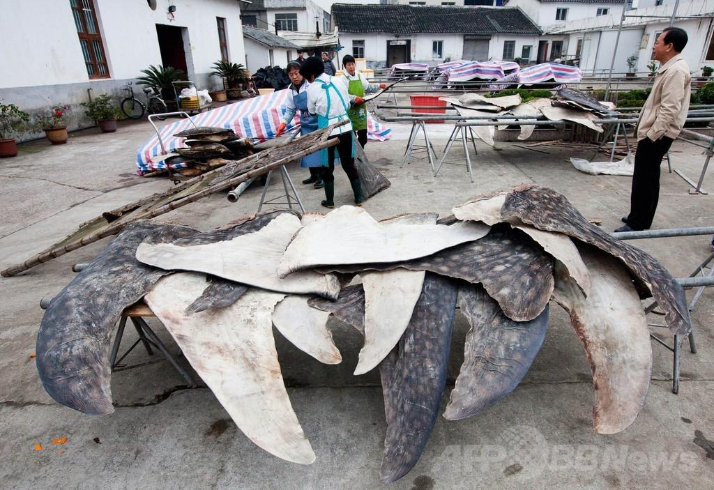 香港環境団体、ジンベエザメの解体処理施設を告発 年間600匹