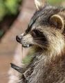 アライグマの「ゾンビ」に住民騒然、米オハイオ州