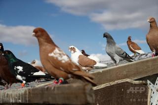 単なる「鳥頭」ではない、ハトに時間と空間の識別能力 米研究
