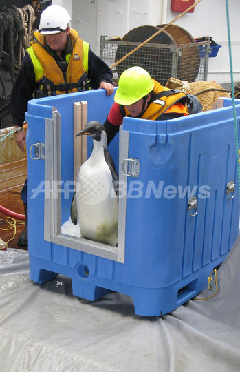 迷子のコウテイペンギン、海に帰る NZ