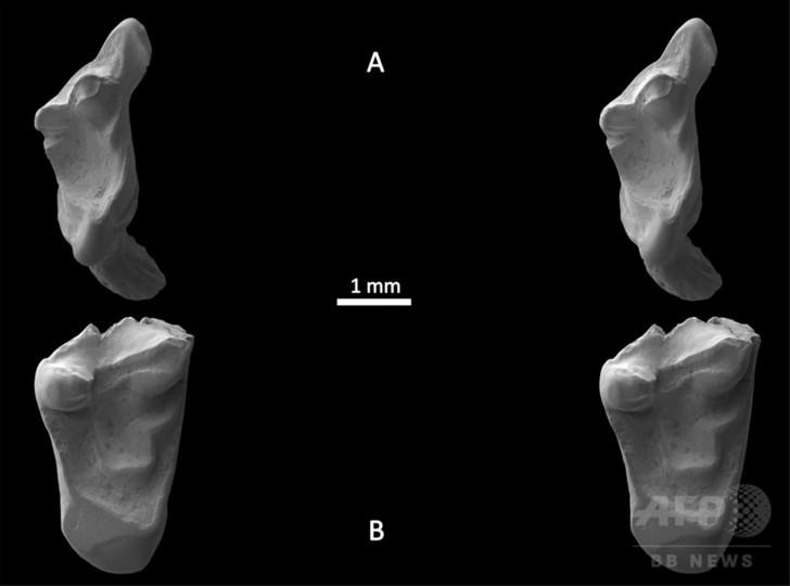 1億4500万年前の「ネズミ」の歯、英大学生が発見