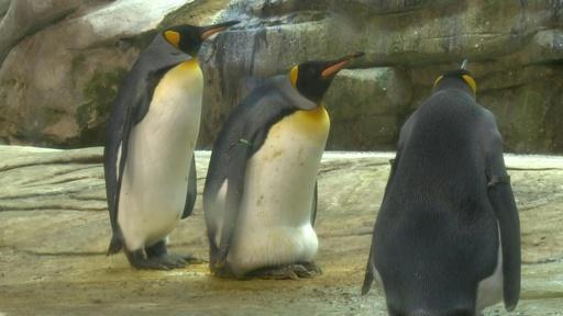 動画:そして父になる?雄ペンギンのカップル、本物の卵を温め中