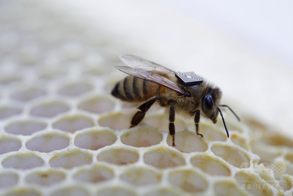 ミツバチにマイクロセンサー装着、大量死問題解明の一助に