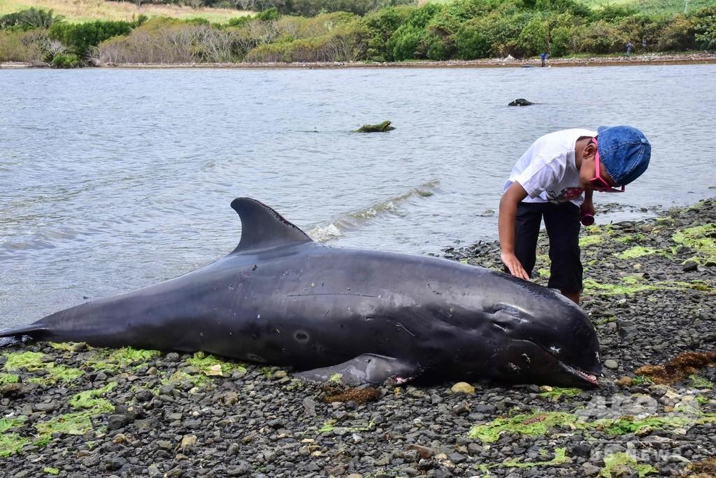 モーリシャスにイルカ18頭漂着 流出事故との関連否定