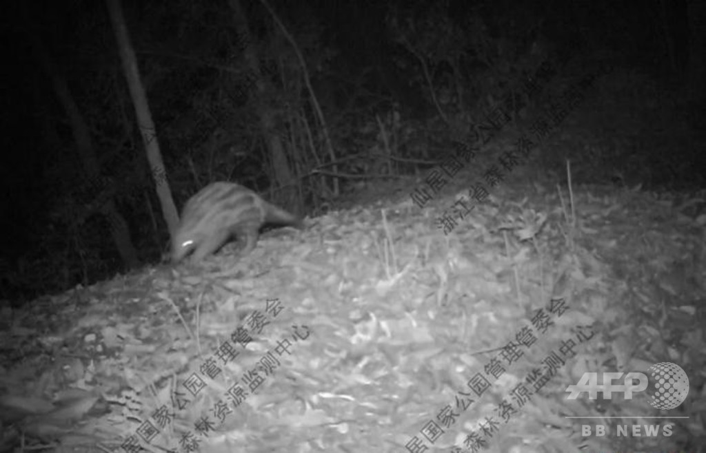 野生のミミセンザンコウが浙江省で見つかる、ここ20年間で貴重な発見