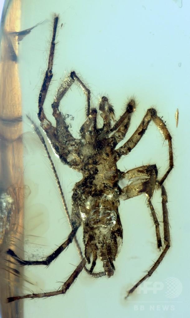 尾を持つ「クモ」、1億年以上前の琥珀の中から発見 研究