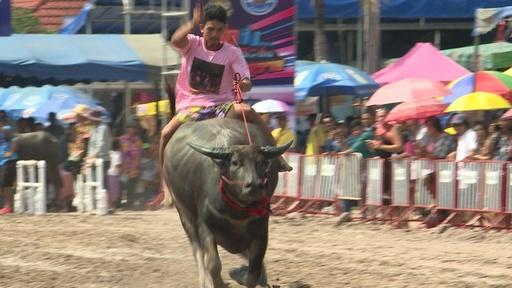 動画:水牛の背に乗り疾走! 圧巻の伝統レース タイ