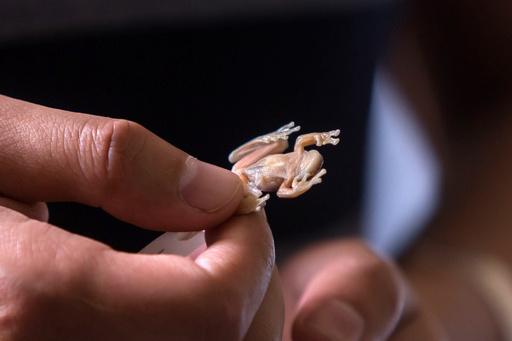 20年前に発見の半透明のカエル、新種と判明 エクアドル