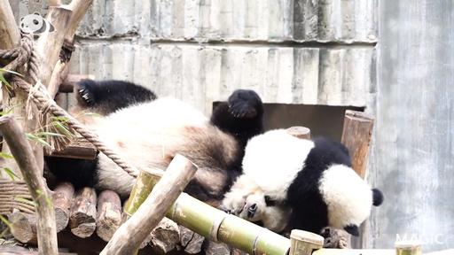 動画:【パンダフル】お母さんと過ごす楽しいひと時