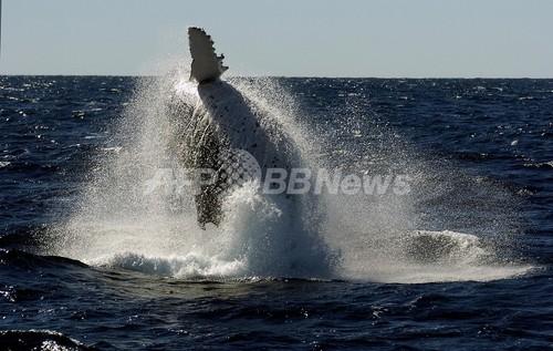 豪環境相、商業捕鯨めぐる日本政府の対応は「子どもじみたかんしゃく」