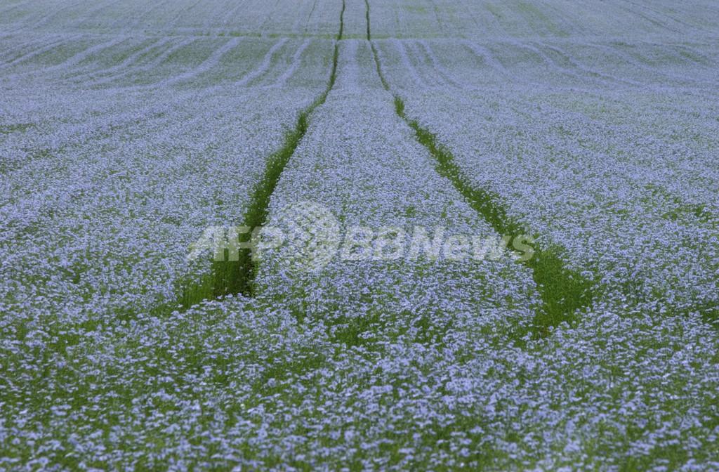 リトアニアの春を象徴する青い花、消滅の瀬戸際