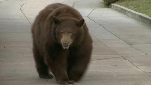 動画:米カリフォルニアの住宅街にクマ出没