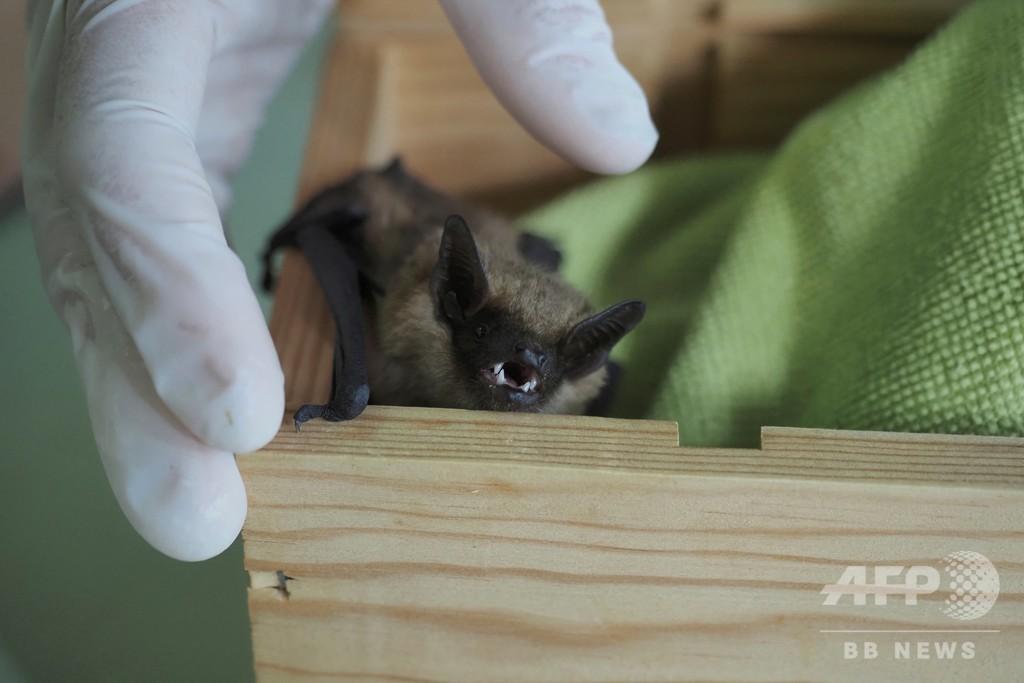 世界中で嫌われるコウモリは誤解だらけ、仏博物館で啓発活動