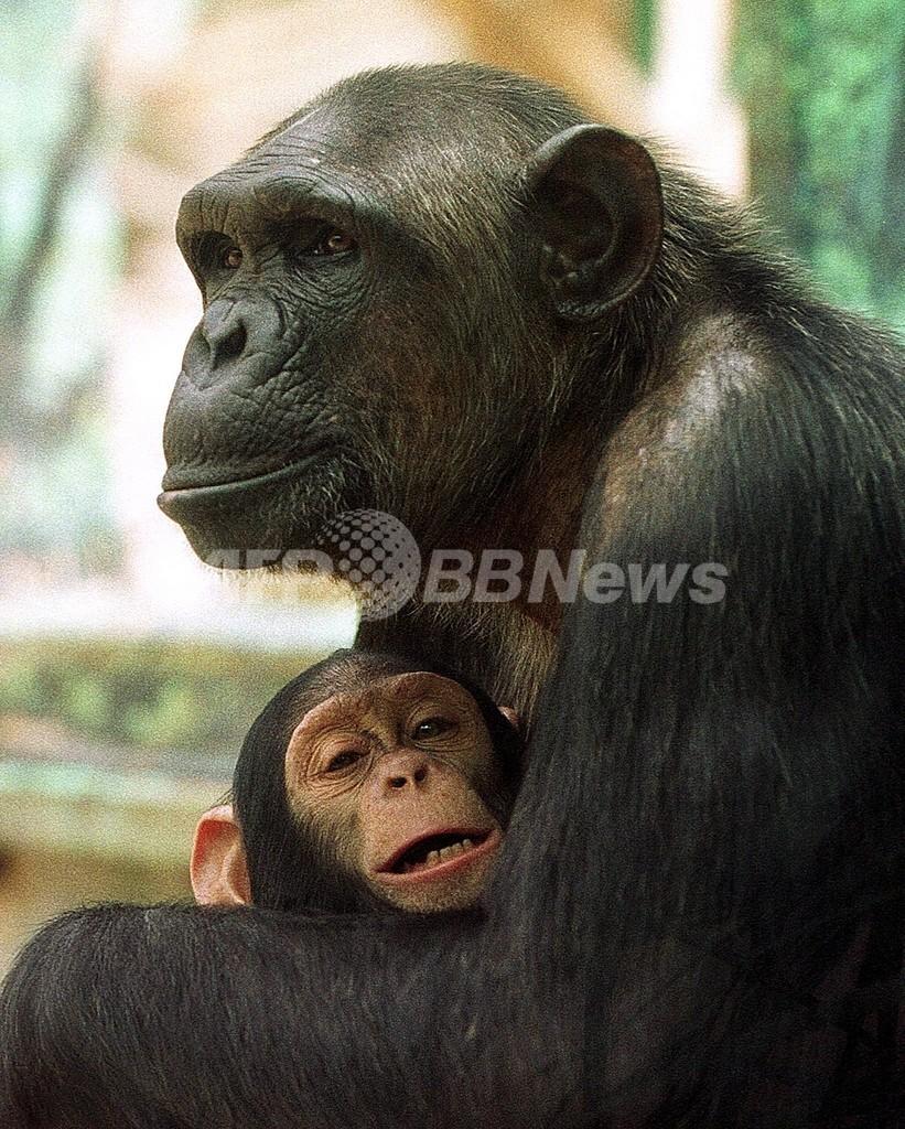 チンパンジーにも「死」の意識?人間と似た死者への対応も