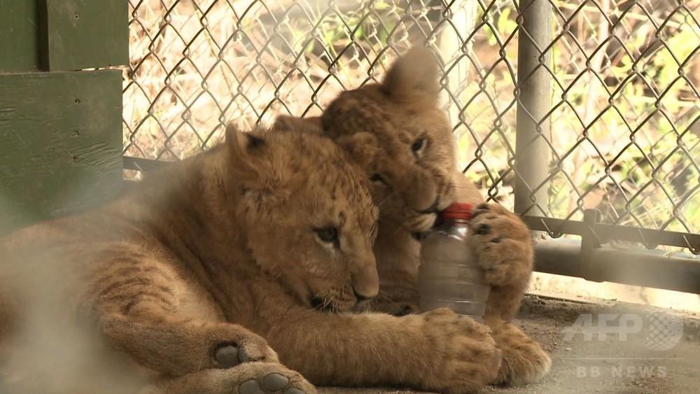 動画:火災襲った米カリフォルニアで誕生、避難の子ライオン3匹親と再会