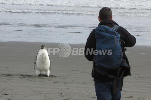 南極生息のコウテイペンギン、1羽だけニュージーランドに上陸