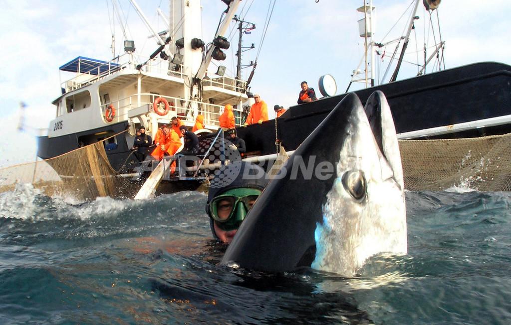 クロマグロの漁獲枠1500トン削減、環境団体は「不十分」と批判