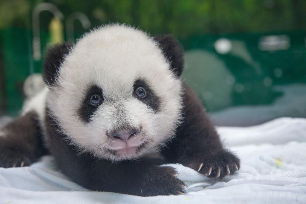 中国の野生パンダ、過去10年で約17%増加 飼育個体も大幅増