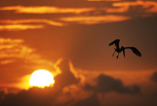 獲物を狙う夕暮れのペリカン、アンティグア島