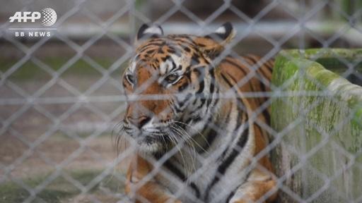 動画:「トラ寺院」で生き残ったトラ、移送先で獣医師らが必死に世話 タイ