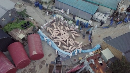 動画:中国、韓国からのブタ輸入を禁止 アフリカ豚コレラ発生受け
