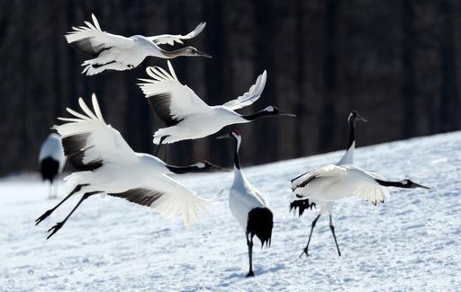 タンチョウの求愛ダンス、北海道の雪原で