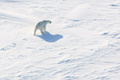 ホッキョクグマの「襲来」終結、非常事態宣言を解除 ロシア北極圏の島
