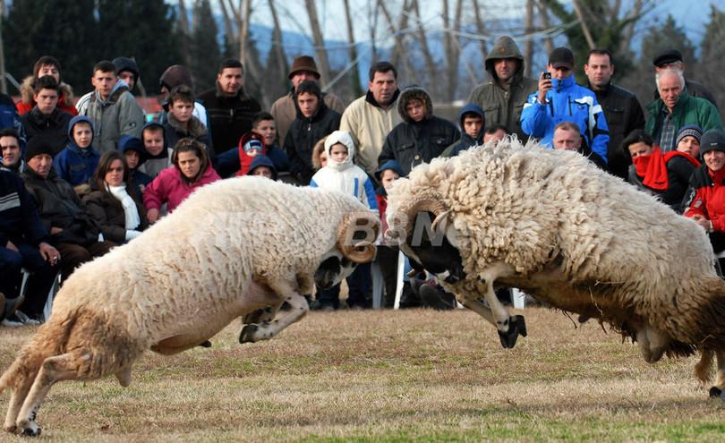 モンテネグロで闘羊祭、羊の勇姿が観客を魅了