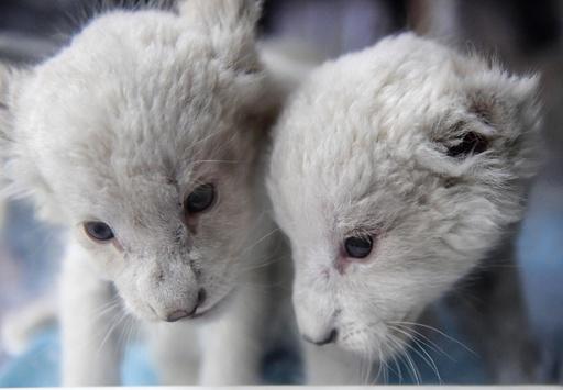まだまだモフモフ、満1か月迎えた双子のホワイトライオン 中国・済南