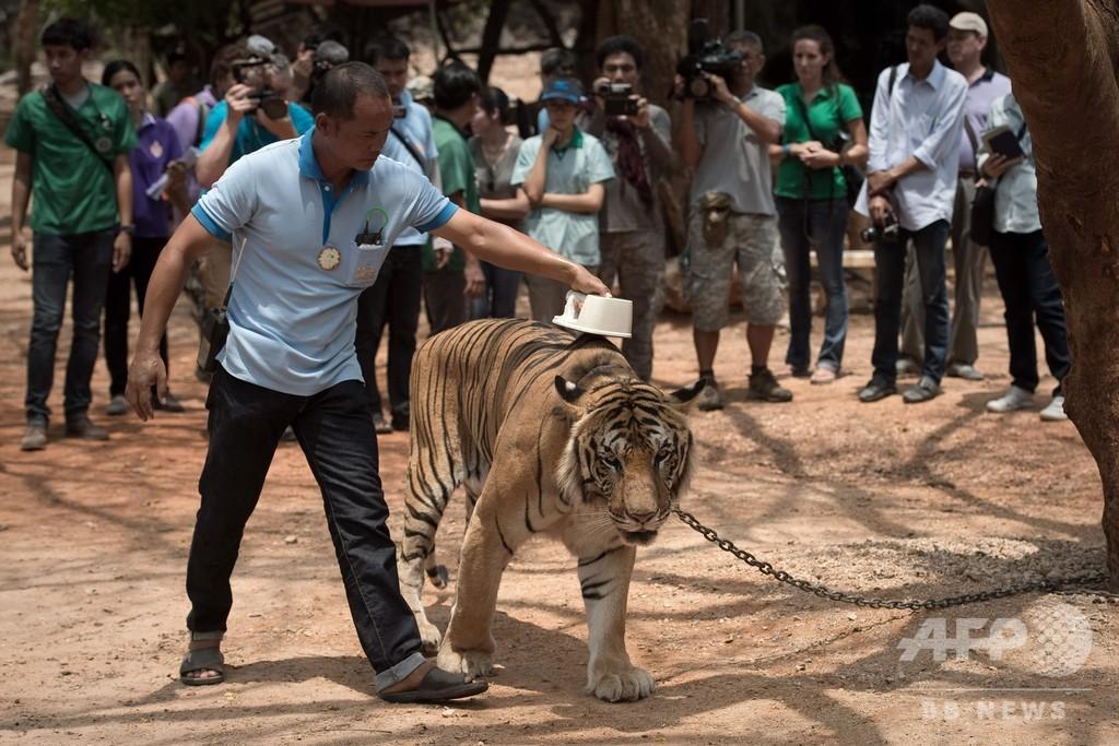 タイの「トラ寺院」から押収のトラ、86頭死ぬ 近親交配が原因?