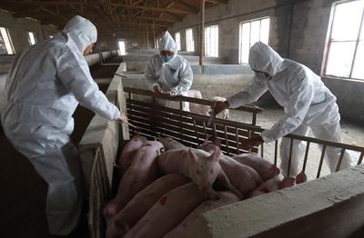 アフリカ豚コレラ感染、全国で勢い弱まる