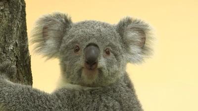 動画:ウィーン動物園に新たな仲間、もうユーカリも味見したよ!