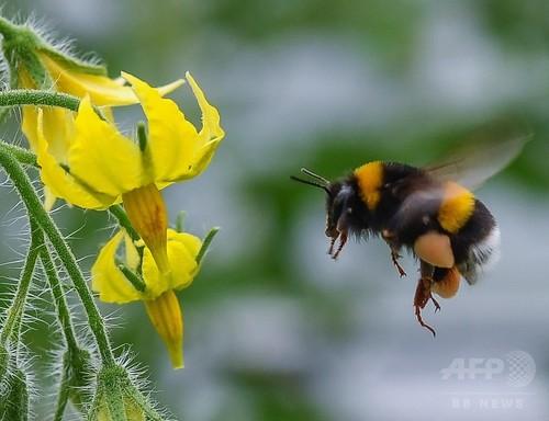 マルハナバチ、「足の臭い」で賢く餌探し 研究