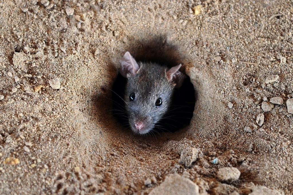 消えた押収品のマリフアナ、犯人は「ネズミ」とインド警察
