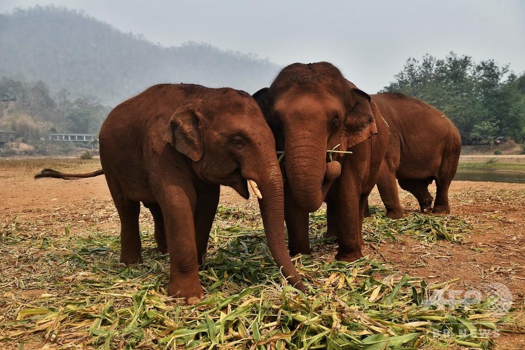 飢えたゾウに踏まれ男性死亡 タイ、コロナで飼育施設閉鎖