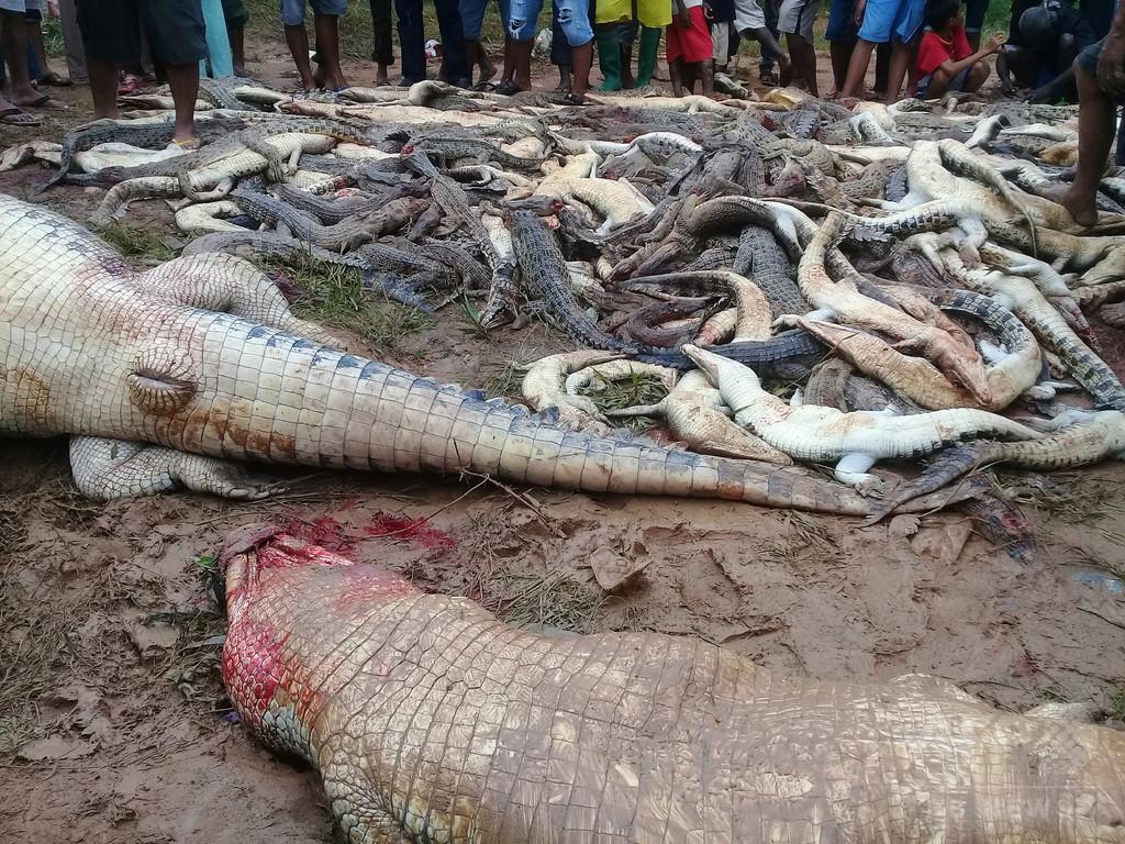 ワニ約300匹殺される、男性1人死亡の「報復」 インドネシア