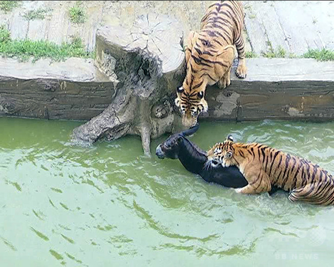 生きたロバをトラの餌に、投資家の暴挙捉えた映像に怒りの声 中国