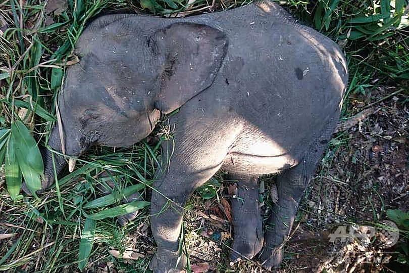 絶滅危機のボルネオゾウ、作物荒らし殺される マレーシア