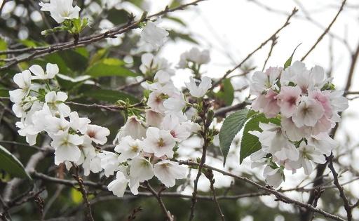 「美しい誤解」で桜が秋に開花、中国の武漢大学