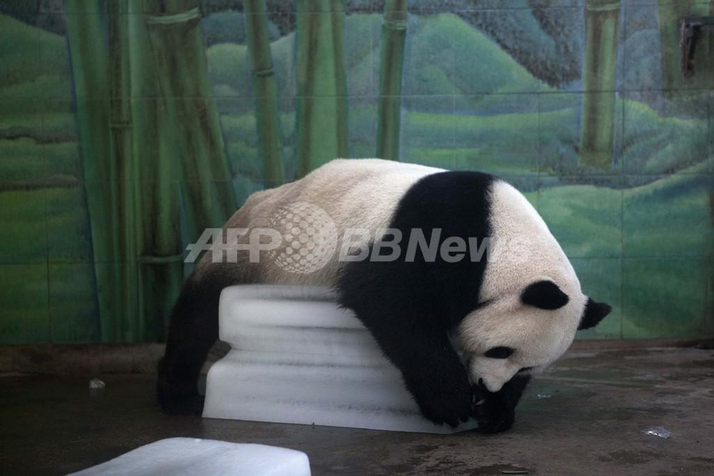 暑すぎる…!パンダもだれる連日40度超え、中国