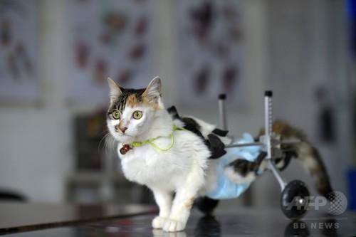 10階から転落のネコ、特製器具装着で再歩行 中国