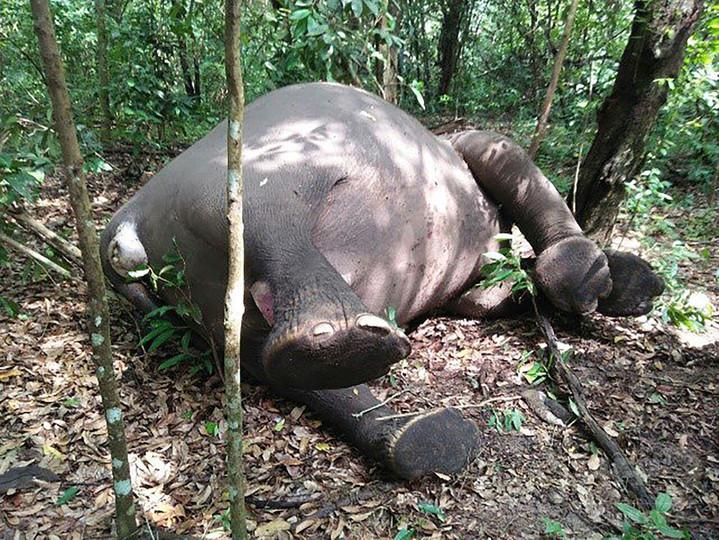 国立公園内にスマトラゾウの死骸 象牙目当てに射殺か インドネシア