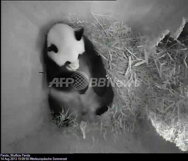 ウィーンの動物園で赤ちゃんパンダ誕生、自然妊娠で3頭目