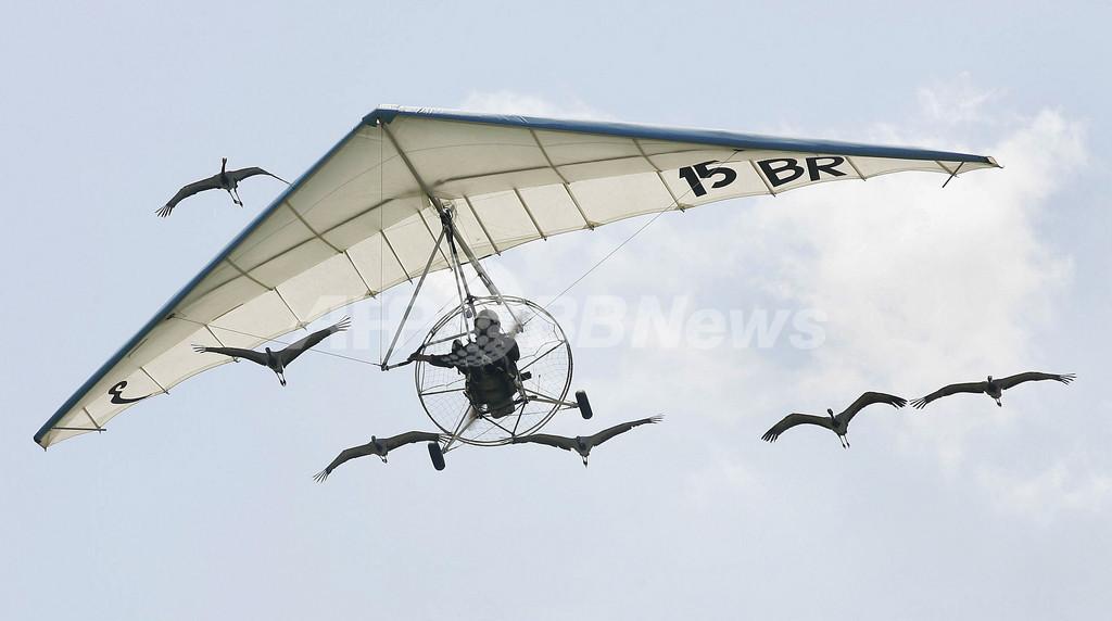 ツルの群れと飛ぶグライダー、独航空ショー