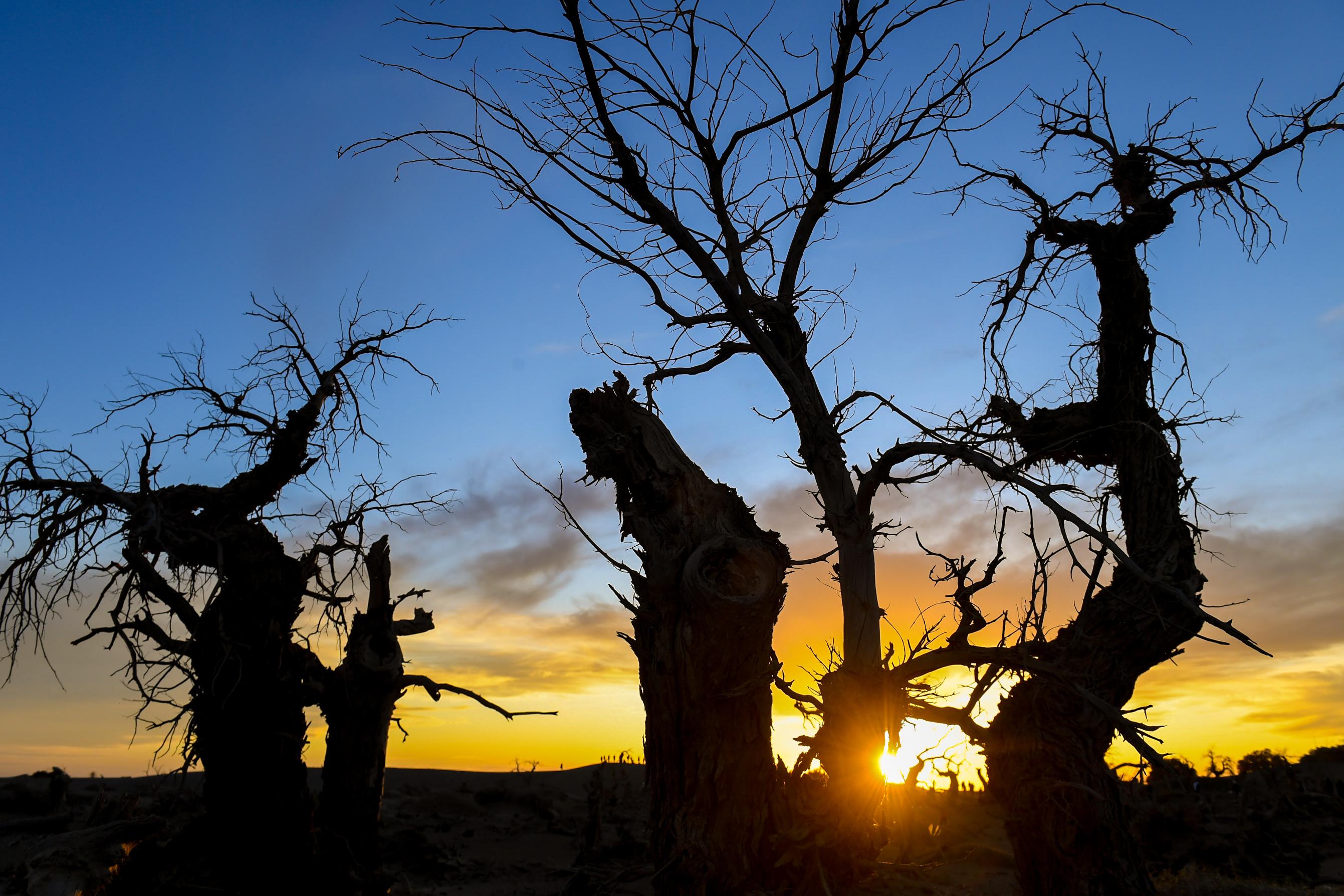 後世に警告、砂漠に広がる不思議な「怪樹林」 内モンゴル自治区