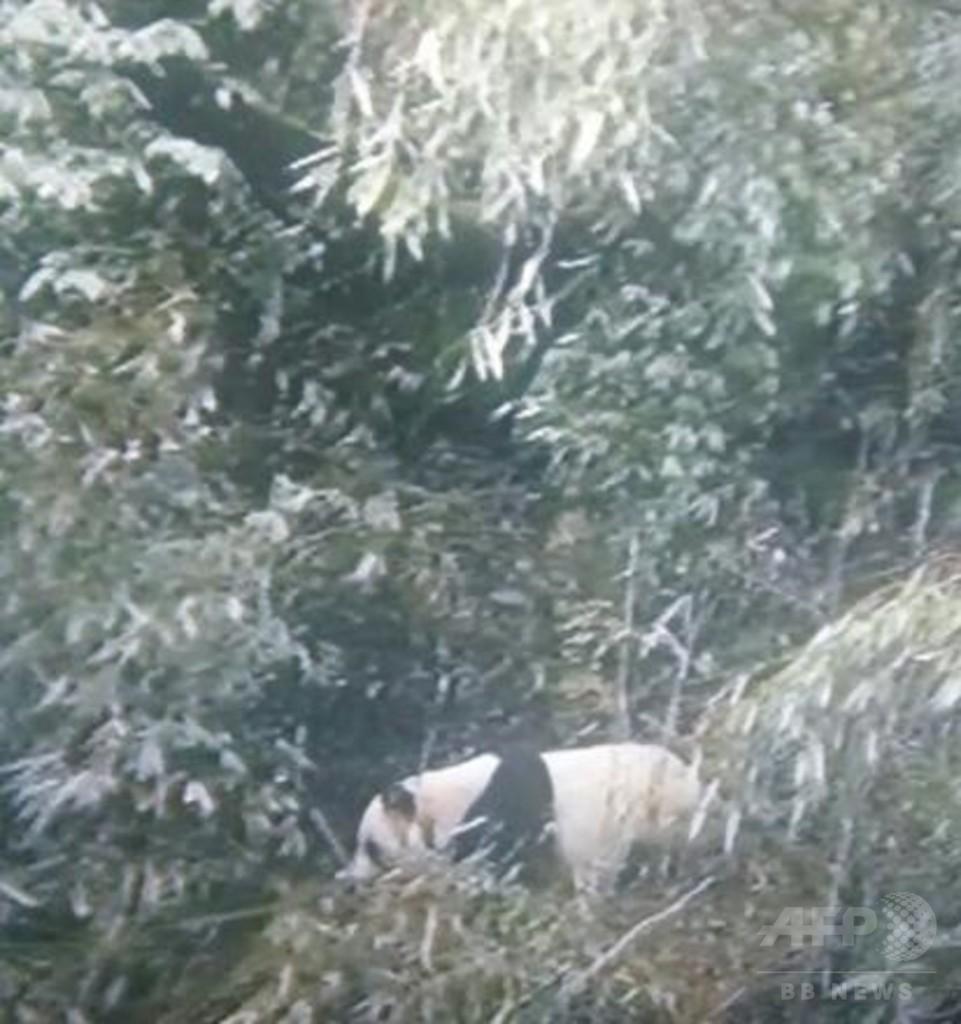 樹上でお休み中の姿をキャッチ! 中国・四川で野生ジャイアントパンダの撮影に成功