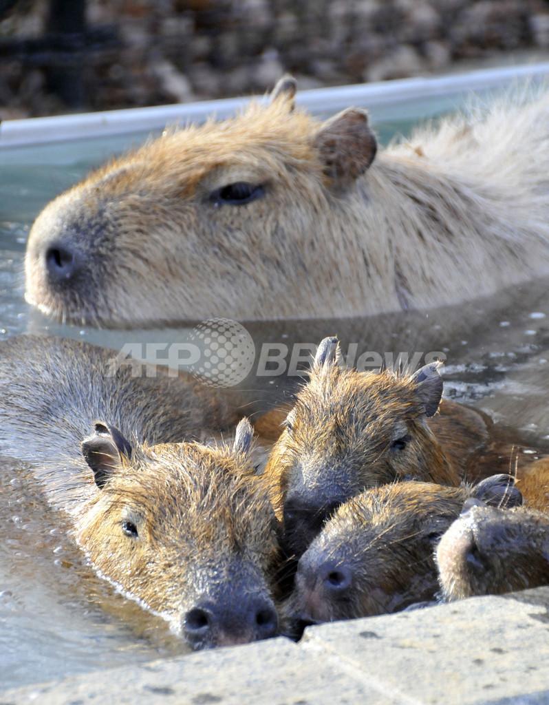 露天風呂でホットするカピバラの親子、埼玉県こども動物自然公園