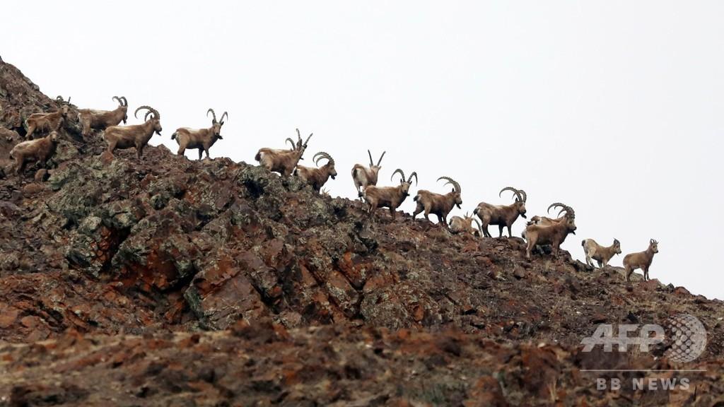シベリアンアイベックスの群れ 新疆・ボルタラモンゴル州