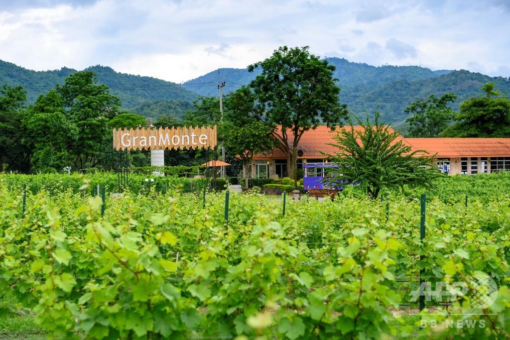 熱帯でワイン造り 姉妹で挑む富豪が独占するアルコール市場 タイ